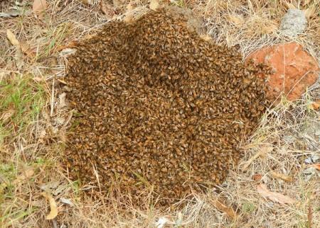 crestmont-bees