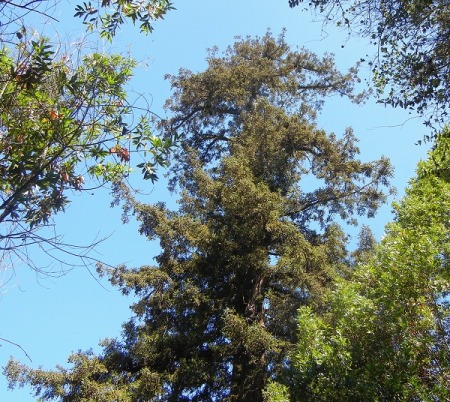 old-redwood-top