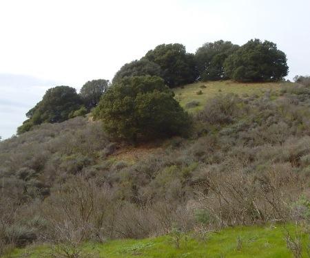 oaks-1