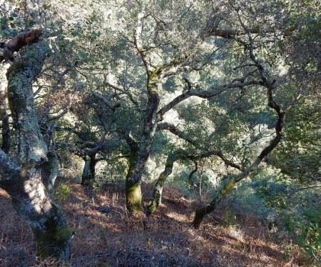 oaks-7